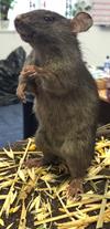 rat cropped